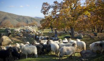 L'Agriculture Corse fait le dos rond, interview de Lionel Mortini président de l'ODARC