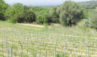Vignes et vignerons insulaires